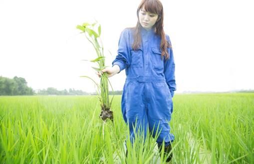美容成分「アミノ酸生命体® 」の原料である無農薬栽培米 「りそうファーム」では農薬を使用せず、社員で除草を実施 安全性の追求だけでなく植物の自らの成長する力を引き出すために自社農場で栽培