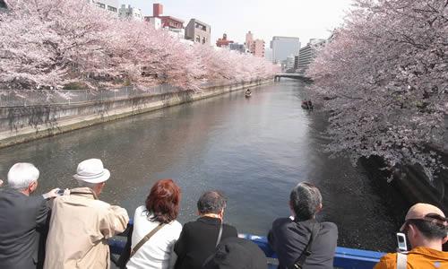 hashi_sakura2