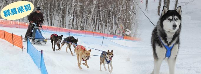 ~水上高原スキーリゾート 冬のアクティビティ~ 群馬県初、水上高原で犬ぞり体験! 今、ドラマでも話題の本格犬ぞりをリアルに再現