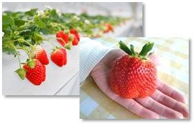 ~山田養蜂場の体験型 みつばち農園~ 8種類のイチゴを食べ比べ 『イチゴ狩り』好評実施中 土日祝日限定 桜はちみつ入りイチゴハニークレープも販売