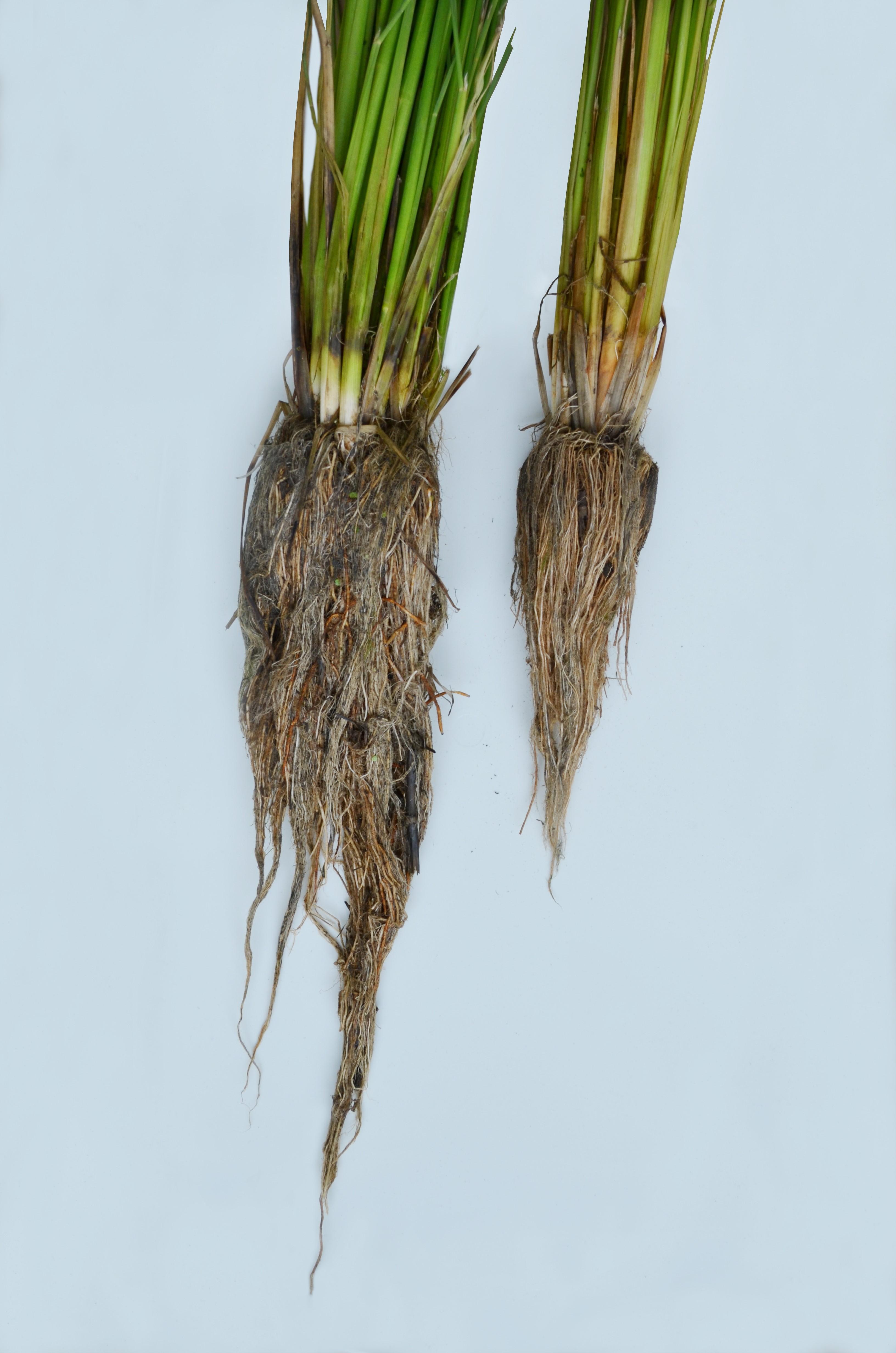 美容成分「アミノ酸生命体® 」の原料である無農薬栽培米 「リソウファーム」で平成27年5月19日に田植えを実施 安全性の追求だけでなく植物の自らの成長する力を引き出すために自社農場で栽培