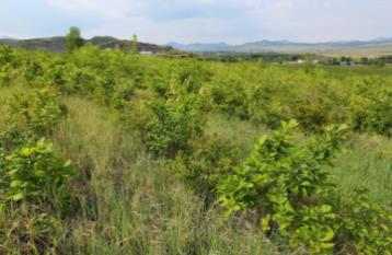 当社植樹により蘇った内モンゴル地区・林西県2